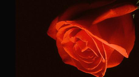 r169_457x256_2058_Кармен_rose_fantasy_photo_photography_digital_art