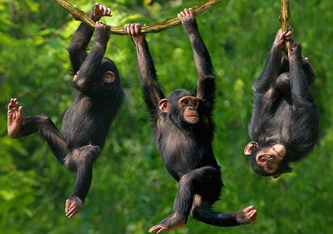 chimps swinging in a tree