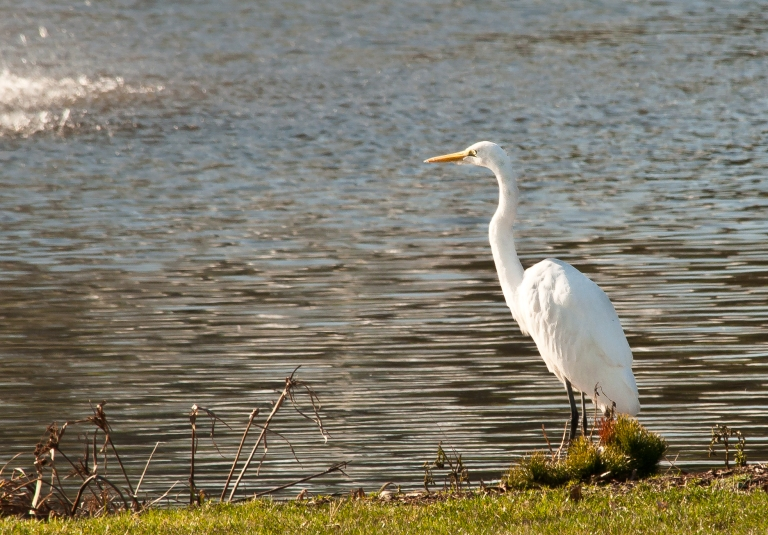 picture of a white heron