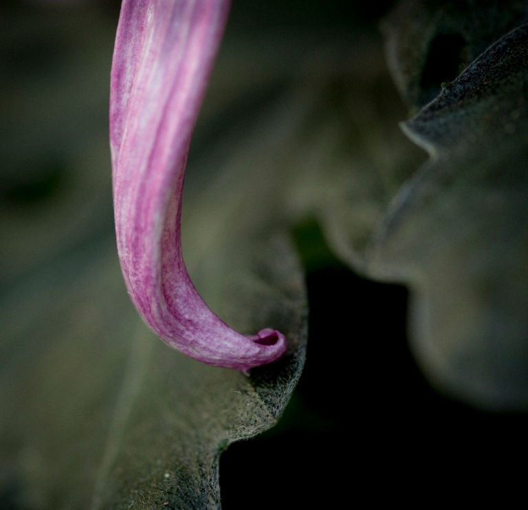 photo of a curling purple flower petal on green leaf, by Carolyn Meltzer, photographer